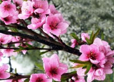 Как рассчитать активацию Цветка Персика для любви?